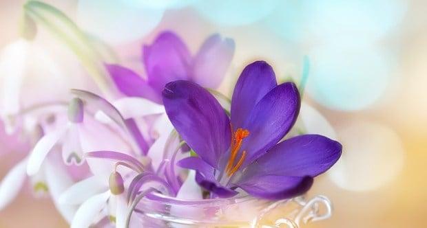 Bunga Lily Ungu