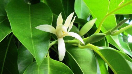 Berbagai Jenis Bunga Cempaka yang Populer di Indonesia