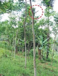 Sisakan cabang 10—15 cm ketika memangkas agar tidak menjadi lubang masuk hama penyakit seperti pada pemangkasan sengon