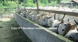 Kandang penggemukan PT Berdikari United Livestock.