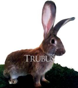 German giant, kelinci subtropis yang sudah berhasil dibudidayakan Gunawan di daerah Lembang, Bandung.