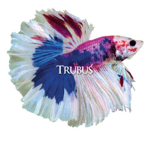 Ikan Cupang Berekor Mawar (Rosetail)