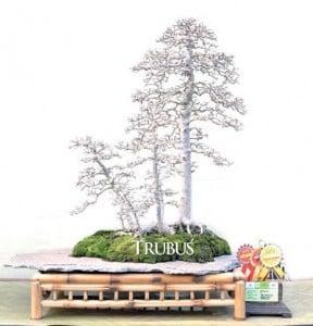 Ulmus lancaefolia memiliki gaya menggantung layak menjadi salah satu masterpiece bonsai Indonesia.