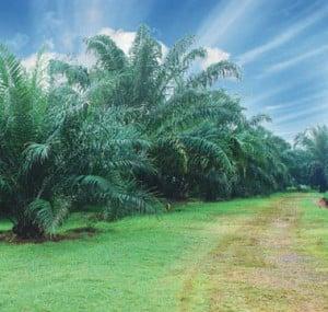 Serangan penyakit busuk pangkal batang menyerang kelapa sawit sejak 1915