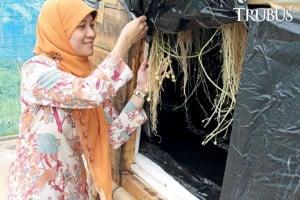Dr Eni Sumarni STP, MSi meneliti aeroponik kentang di dataran rendah.