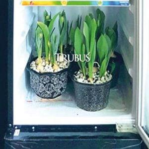 Showcase menjadi alternatif dalam menanam tulip di dataran rendah.