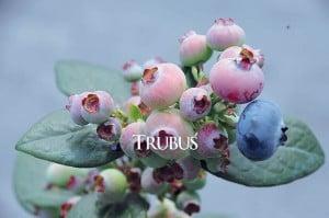 Untuk mencegah penuaan dini, konsumen bisa menggunakan buah-buahan berwarna ungu seperti bluberi