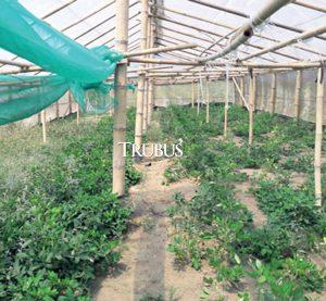 Pertumbuhan kacang varietas baru itu sangat baik di dalam greenhouse di Desa Depokrejo, Kecamatan Ngombol, Kabupaten Purworejo, Provinsi Jawa Tengah.