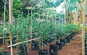 Hasil panen cabai bisa sampai 1,5-2 kg per tanaman.