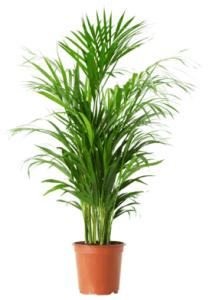 tanaman-hias-daun-palem-chrysalidocarpus-lutescens