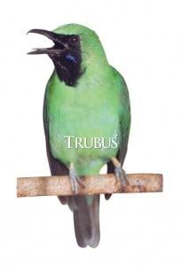 Halimun, peraih takhta tertinggi cucak hijau