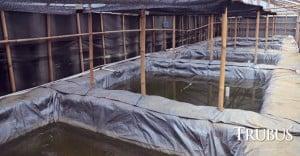 Kolam pembenihan lele dalam ruangan dengan naungan berupa plastik transparan