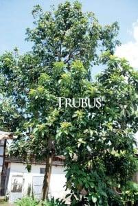 Di setiap rumah terdapat 3—6 pohon avokad produktif