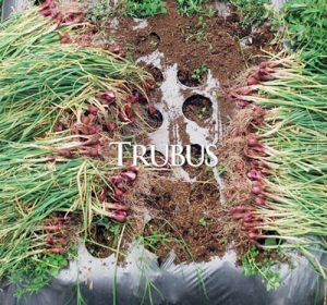 Serangan hama ulat grayak pada bawang merah menjadi salah satu penyebab utama kegagalan panen.