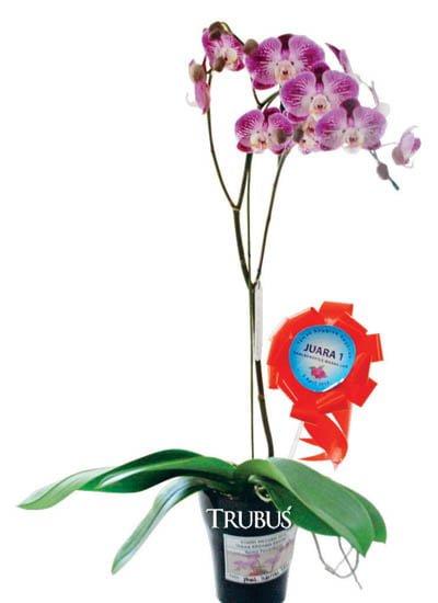 Juara kelas phalaenopsis kategori warna lain.