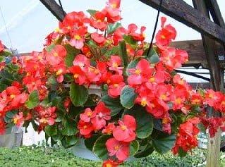Macam Macam Tanaman Hias Gantung Dengan Bunga Cantik Thehijau Com