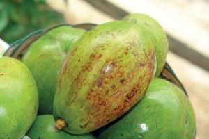 Avokad mega paninggahan, varietas unggul dari Solok, Sumatera Barat
