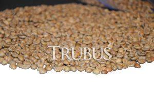 Biji kopi beras alias green bean robusta siap sangrai.