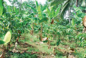 Penanaman pisang tanduk tumpangsari dengan kopi.