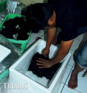 Pengemasan tanaman hias air untuk ekspor