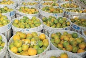 Harga jeruk keprok lebih mahal daripada siam.