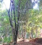 Populasi pohon cengkih milik pekebun di Banyumas, Jawa Tengah.