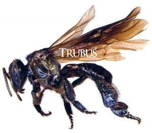 Lebah Trigona sp. dari Sulawesi  Selatan, penghasil propolis terbaik untuk tuberkulosis.