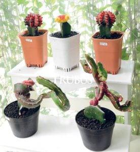 Sukulen dan kaktus masih menjadi favorit masyarakat untuk suvenir pernikahan.