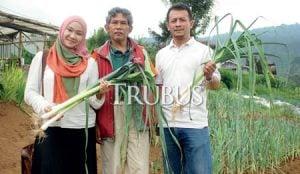 Dedi Djatmiadi menanam lik di Lembang, Bandung Barat, sejak 2014 (tengah), Eva La Madarona, penikmat lik sedang panen di kebun milik Dedi (kiri).